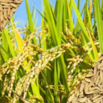 21 lakh 29 thousand 764 farmers registered to sell paddy on support price this year