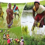 Purchase of paddy from registered farmers under cash and linking starts from December 01