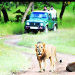 Gujarat: Lion safaris begin at Girnar sanctuary