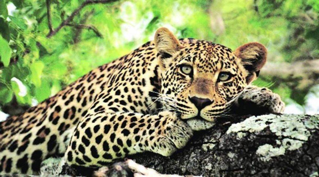 Maharashtra leopard deaths, Maharashtra leopards, Maharashtra leopard death committee, maharashtra news, indian express news