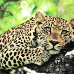 Maharashtra: Committee set up to study increase in leopard deaths